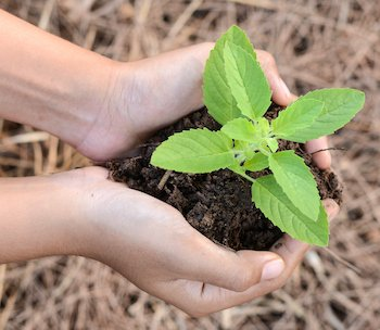 Holy basil In human hands