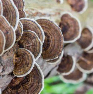 Turkey Tail Mushrooms and Immunomod