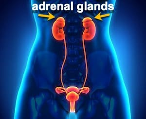 female urogenital system with arrows pointing to adrenal glands